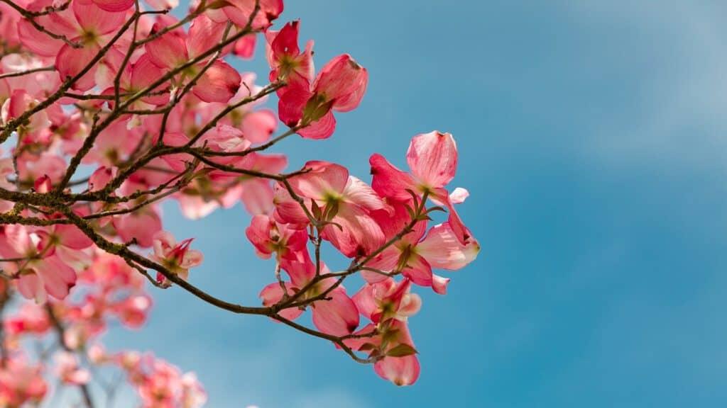 Cherry blossom Meridian Care